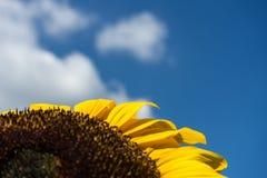 Macro ascendente cercana del girasol con el fondo del cielo azul Imagen de archivo libre de regalías