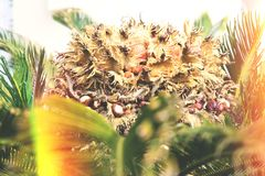 Macro ascendente próximo da vista da planta da palma de sagu com semente fotografia de stock royalty free