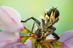 Macro. Asilidae on a flower Stock Images