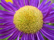 Macro of aster Royalty Free Stock Photos
