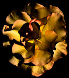 Macro astratta del fiore Fotografia Stock Libera da Diritti