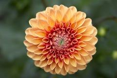 Macro astratta del fiore arancio della dalia Immagini Stock
