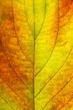 Macro of autumn leaf Stock Photography