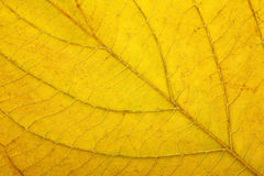 Macro of autumn leaf Royalty Free Stock Photo