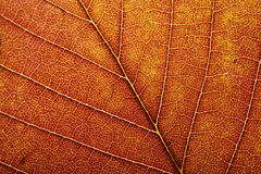 Macro of autumn leaf Royalty Free Stock Image