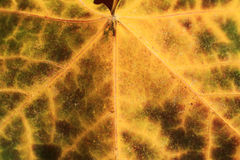 Macro of autumn leaf Stock Images