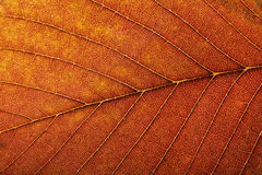 Macro of autumn leaf Royalty Free Stock Photos