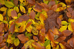 Macro of autumn leafs. Royalty Free Stock Photography
