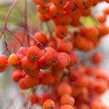 Macro autumn rowanberry clusters on blur background. Macro autumn rowanberry clusters on blur background Royalty Free Stock Images