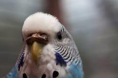 Macro azul australiana 2 del loro Fotografía de archivo libre de regalías