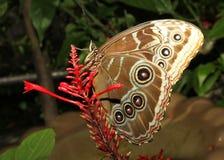 Macro azul da borboleta do morpho fotos de stock royalty free