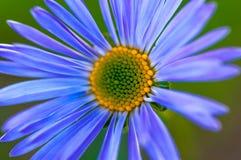 Macro azul da camomila Fotos de Stock Royalty Free