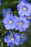 Macro azul de Flox Foto de archivo libre de regalías