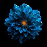 Macro azul de la dalia de la flor del cromo oscuro surrealista aislada fotos de archivo