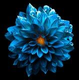 Macro azul de la dalia de la flor del mar oscuro mojado surrealista del cromo aislada foto de archivo