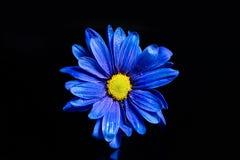 Macro azul de la flor Imágenes de archivo libres de regalías