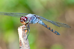 Macro azul de la libélula Fotos de archivo