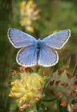 Macro azul de la mariposa (polyommatus Ícaro) Fotos de archivo