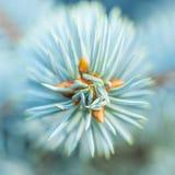 Macro azul de la planta del brote del abeto Imagen de archivo libre de regalías