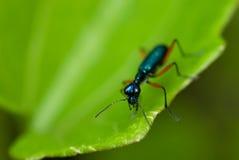 Macro azul do besouro de tigre Fotos de Stock Royalty Free