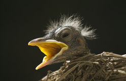 Macro Baby Robin in Nest stock photo