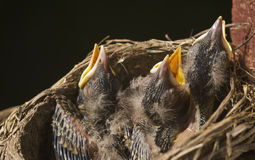 Macro Baby Robins in a Nest Stock Photography