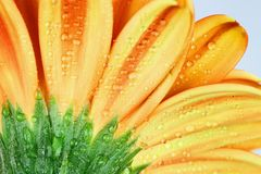Macro of the Back of an Orange Gerber Daisy. Abstract macro of the back of an orange gerber daisy macro with water droplets on the petals. Extreme shallow depth Royalty Free Stock Images