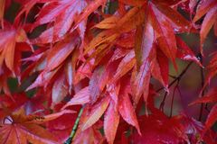 Nature background of colorful Maple leaves drenched in rain water Stock Images