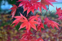Nature background of colorful Maple leaves drenched in rain water Royalty Free Stock Image
