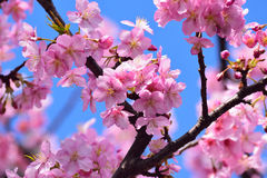Macro Background Japanese Pink Cherry Blossom branch Stock Image