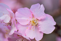 Macro Background Japanese Pink Cherry Blossom branch Royalty Free Stock Photography