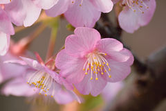 Macro Background Japanese Pink Cherry Blossom branch Stock Photos