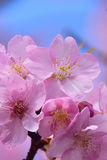 Macro Background Japanese Pink Cherry Blossom in vertical frame Royalty Free Stock Image