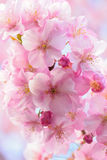 Macro background of Japanese Pink cherry Blossoms in horizontal frame Stock Photos