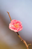 Macro Background Japanese Pink Plum blossoms branch Royalty Free Stock Photography