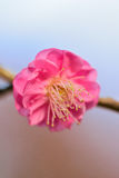 Macro Background Japanese Pink Plum blossoms branch Royalty Free Stock Photos