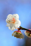 Macro Background Japanese White Plum blossoms branch Royalty Free Stock Photography