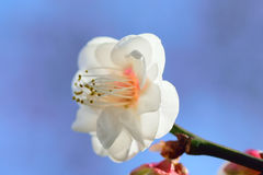 Macro Background Japanese White Plum blossoms in sunshine Royalty Free Stock Photo