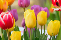 Macro background of multi colored tulip flowers Royalty Free Stock Photo