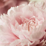 Macro background of peony flower. Stock Photography