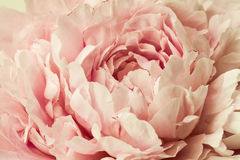 Macro background of peony flower. Royalty Free Stock Photography
