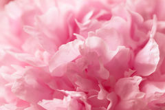 Macro background of peony flower. Royalty Free Stock Photo