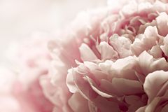 Macro background of peony flower. Closeup of pink peony flowers in soft blur style, vintage toned image. Shallow depth of field Stock Image