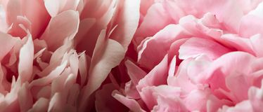 Macro background of peony flower. Royalty Free Stock Photo