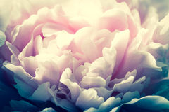 Macro background of peony flower. Stock Photos