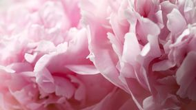 Macro background of peony flower. Closeup of pink peony flowers in soft blur style. Shallow depth of field Royalty Free Stock Photography