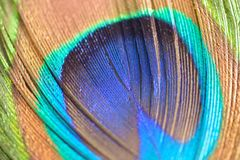 Macro texture of colorful Peacock feather royalty free stock photography