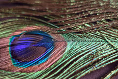 Macro background texture of colorful peacock feathers Royalty Free Stock Images