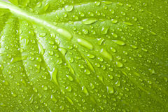 Macro background of water drops on green leaf Royalty Free Stock Photo