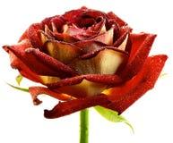 Macro bagnata della rosa rossa isolata Immagine Stock Libera da Diritti
